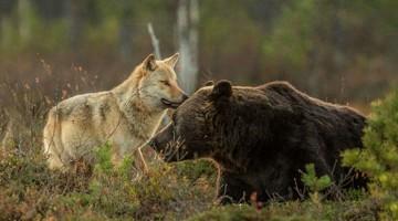 csirip.hu_egy medve es egy farkas szokatlan es csodalatos baratsaga kepekben 6