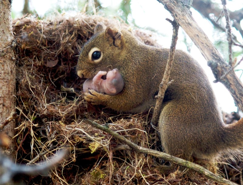 1143355-red-squirrel