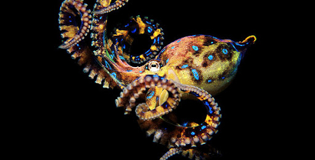 a98564_Blue-RingedOctopus